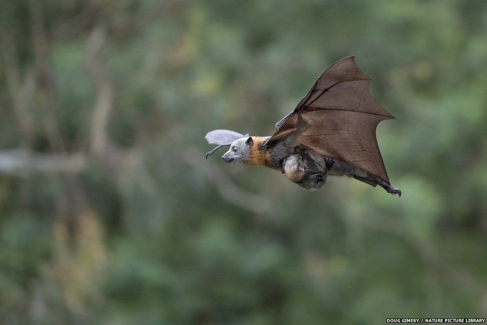Grey-headed flying fox and young