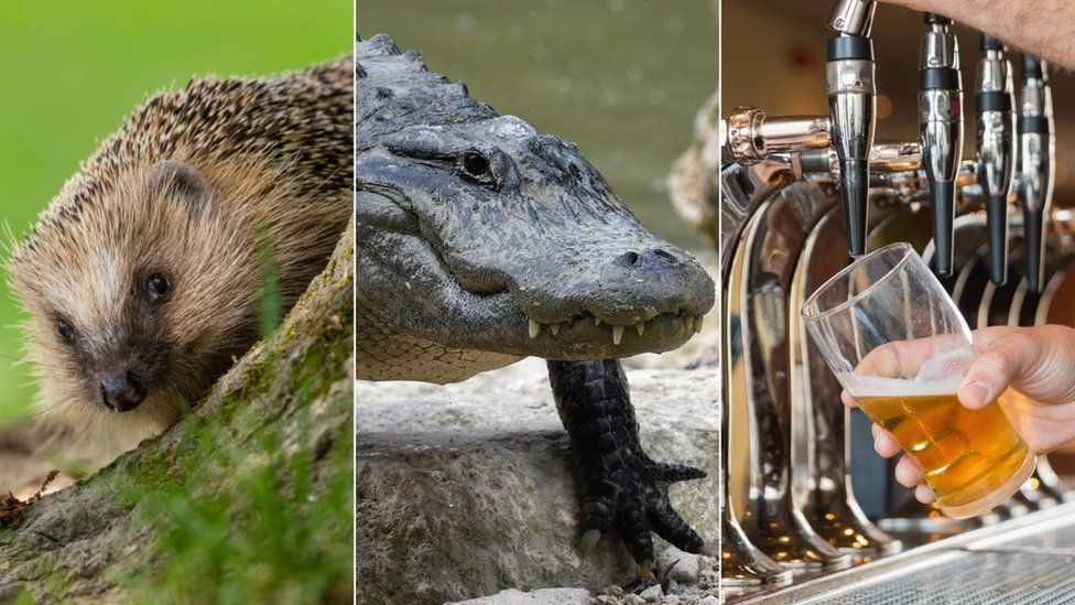 A collage picture of a hedgehog, a crocodile, and a man pouring a pint of beer