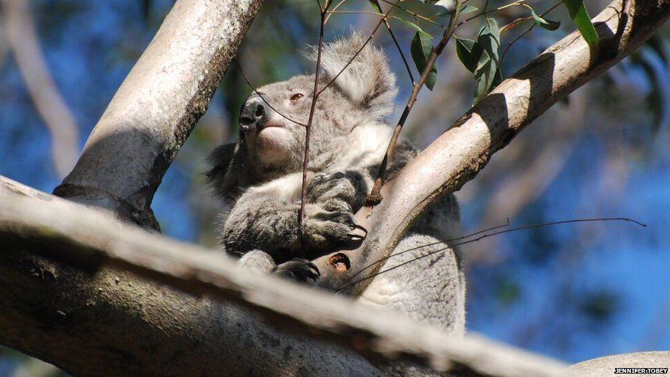 A koala sitting in a tree in the Blue Mountains, NSW, Australia