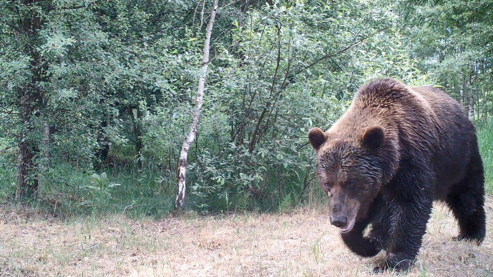 Медведи часто попадают в объектив фотоловушек. Фото с сайта ВВС News Украина