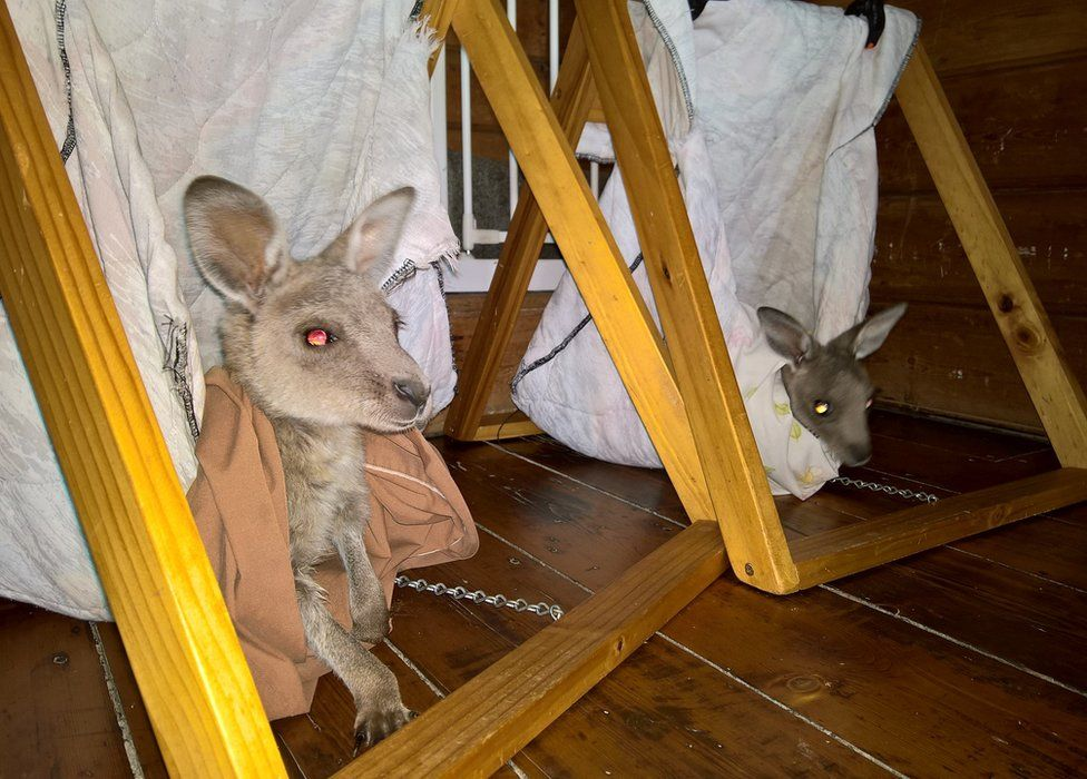 Orphaned joeys are reared in artificial A-frame pouches