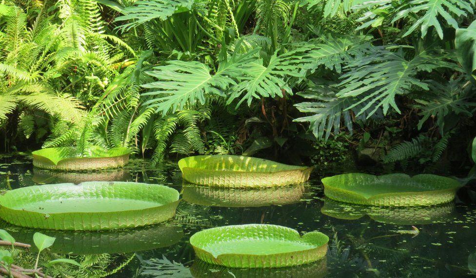 Santa Cruz water lilies (Victoria cruziana)