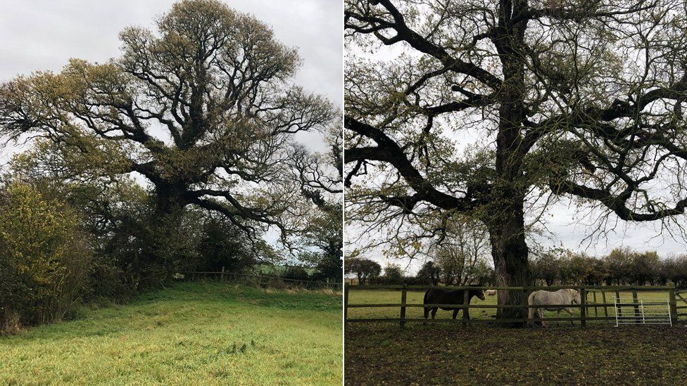Two ancient elm tree still standing in the Cambridgeshire countryside