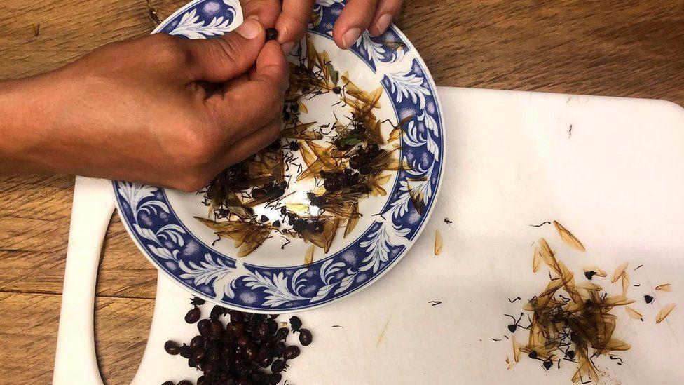 Собрав урожай, местные жители обрывают муравьиным маткам крылышки