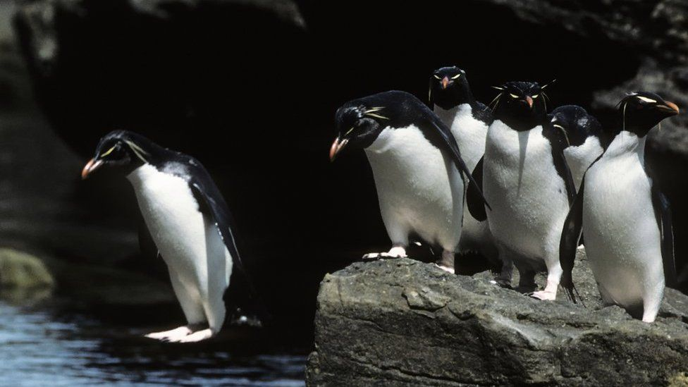 Penguins jumping off a rock into the sea