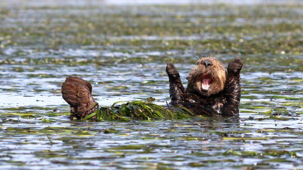 https://ichef.bbci.co.uk/news/976/cpsprodpb/89B4/production/_99225253_penny-palmer_cheering-sea-otter_00002018.jpg