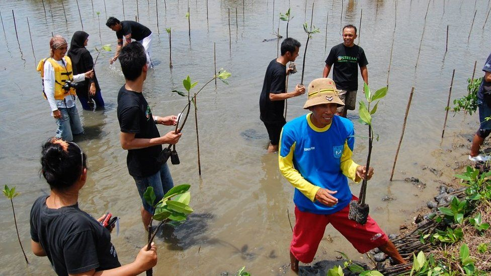 Planting and restoring mangrove forests provides valuable natural protection for vulnerable coastlines (c) Jelajah Pangandaran
