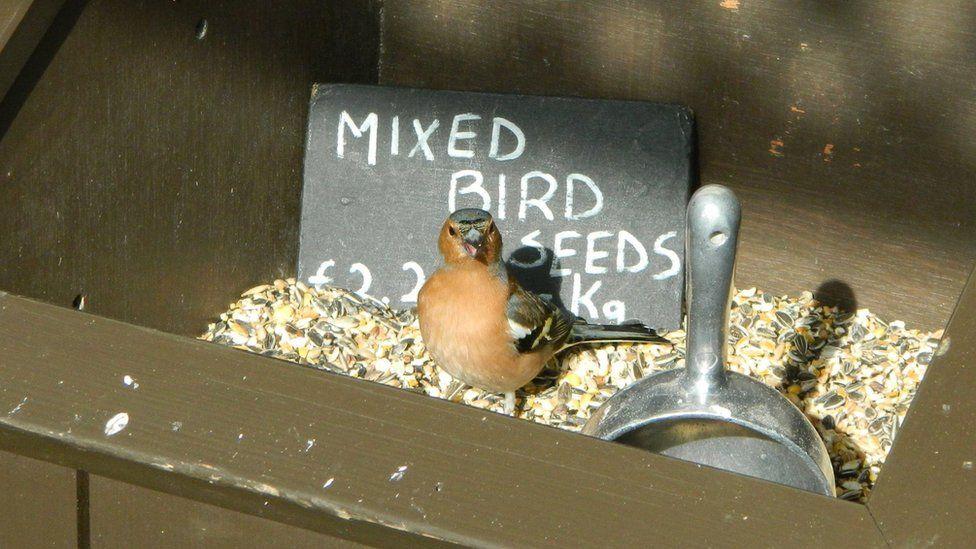 Bird in bird seed