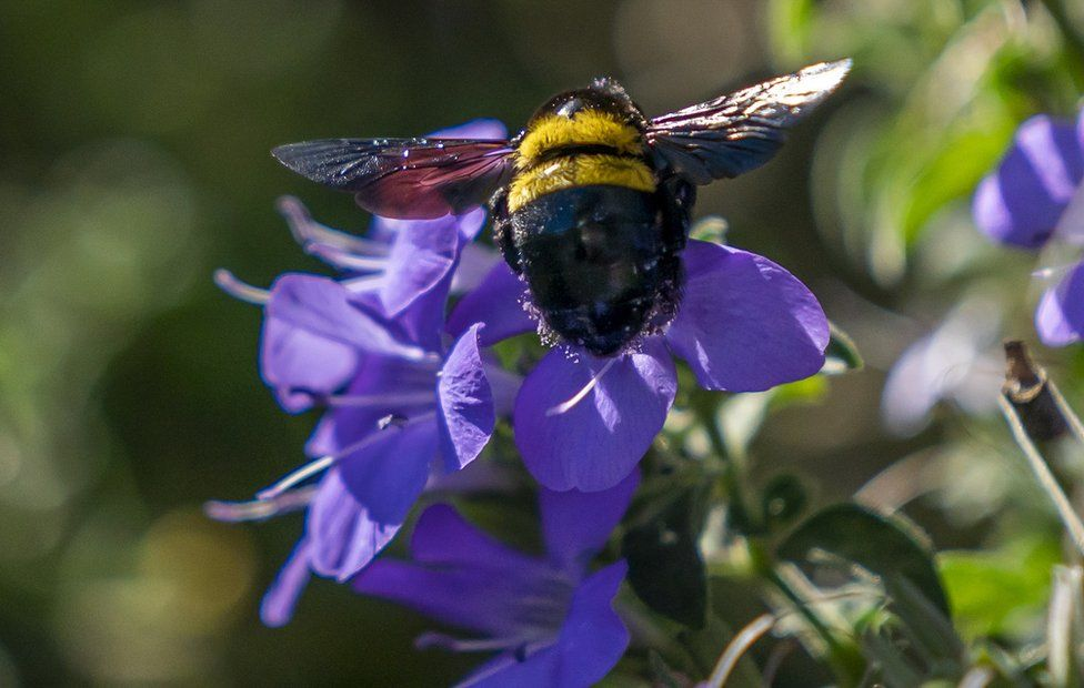 A Carpenter bee flies to a Fynbos flower in Cape Town, on 24 April.