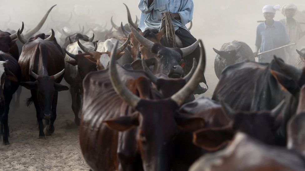 Cows are herded close to the village of Guite in Chad's lake region