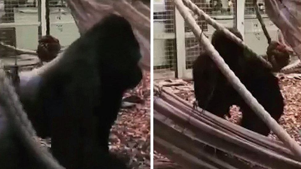 Still from a video of Kumbuka in his enclosure on Thursday