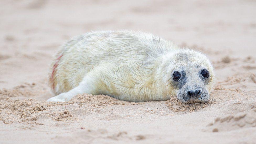 Grey seal pup in Horsey, Norfolk