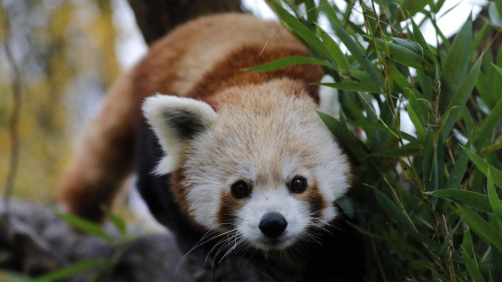 Endangered red panda escapes zoo in south-east France