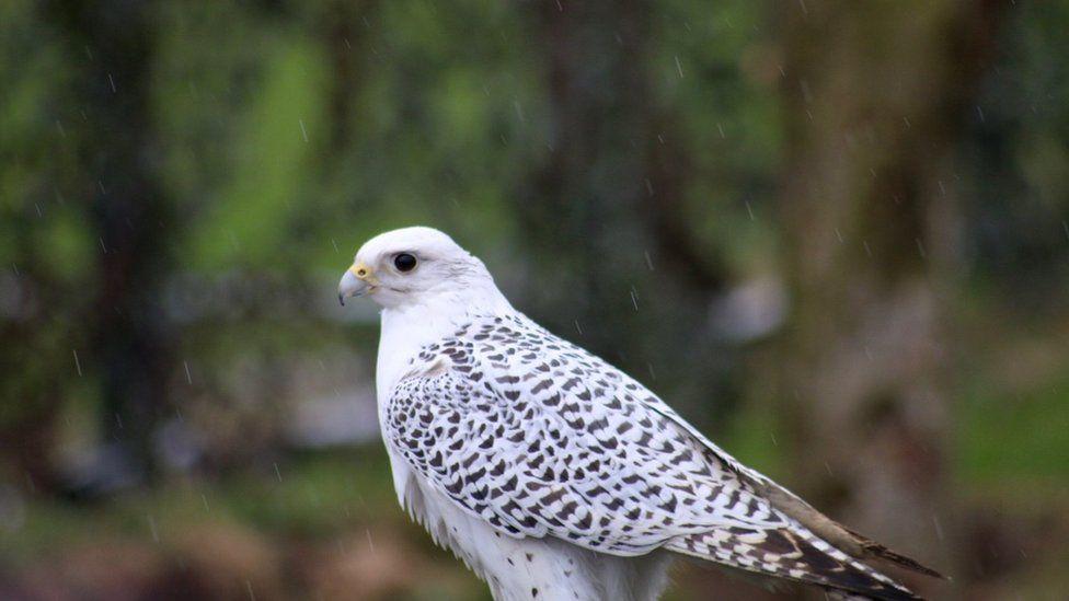 Bird of prey in the rain
