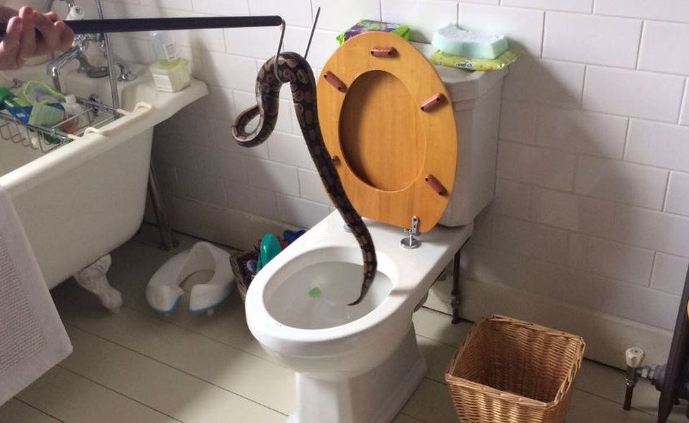 The snake is hooked out of the toilet