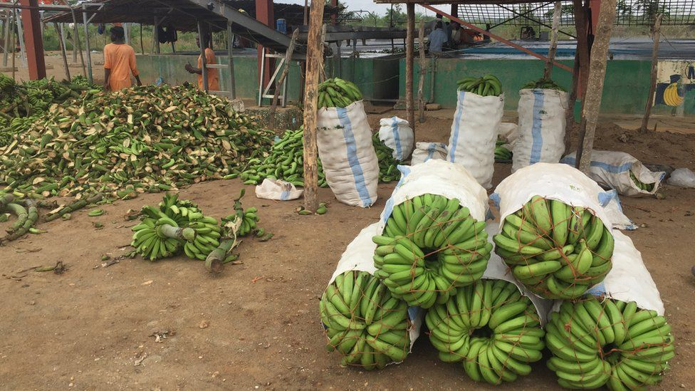 Bananas in barrels and cut up bananas