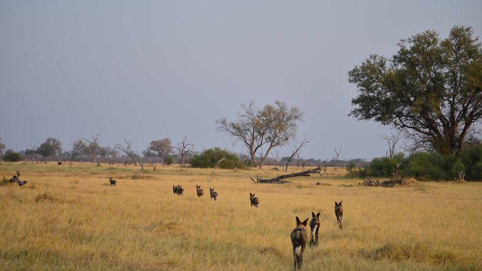 A pack of African wild dogs