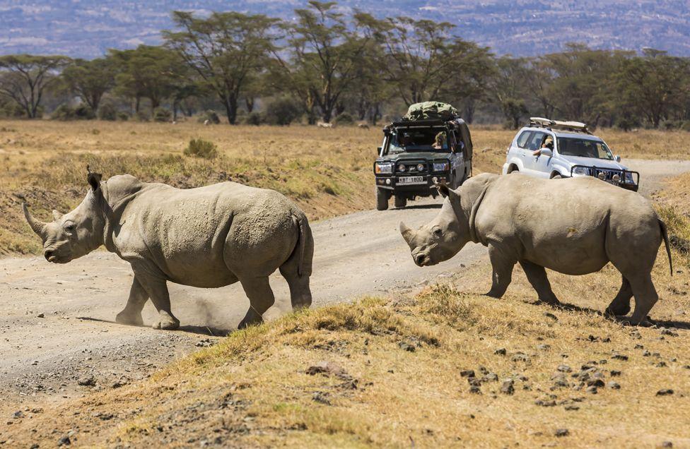 White rhinos at the Nakuru National Park in Kenya