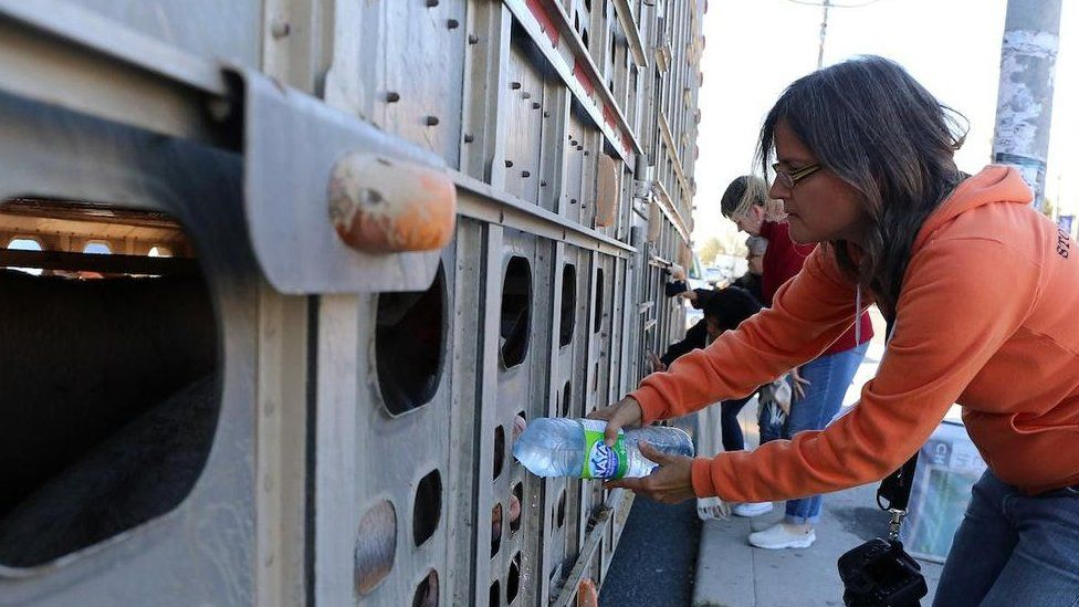 Animal rights activist Anita Krajnc giving water to pigs