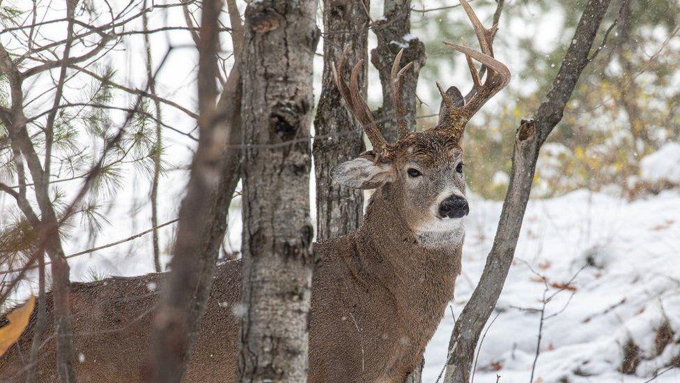 Three antler deer