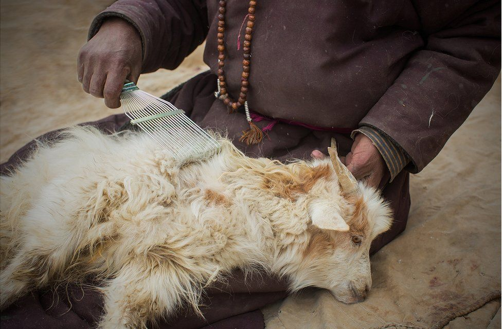 A shepherd runs a comb through the hair of a Changra goat