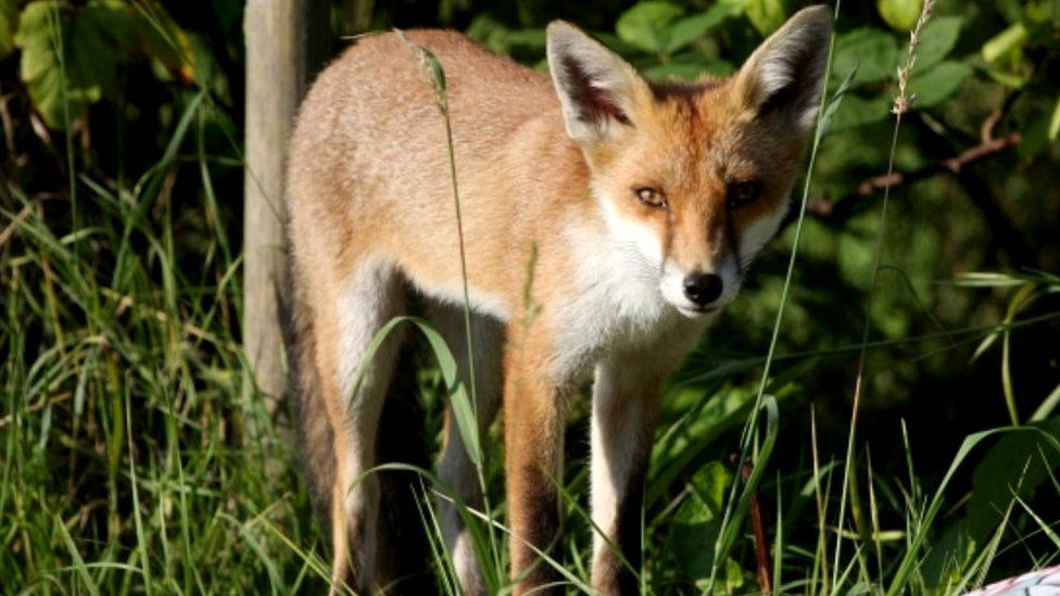 urban fox, file pic