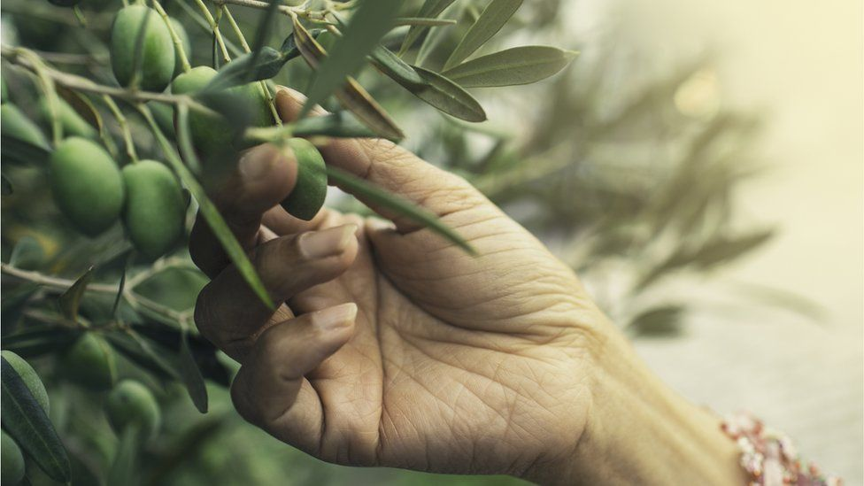 Hand picking green olives from tree