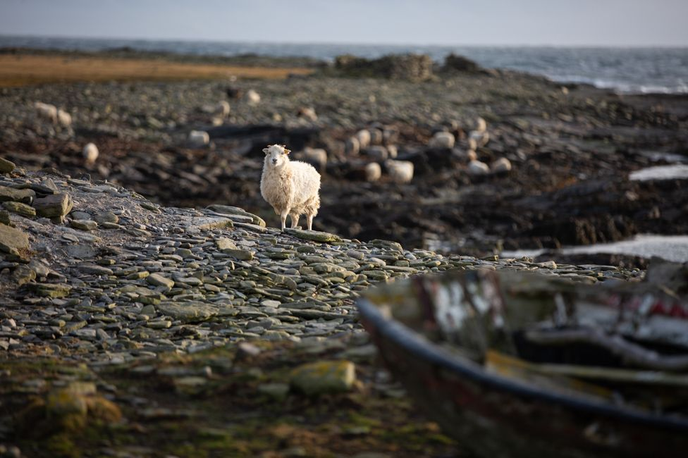 Sheep on North Ronaldsay foreshore