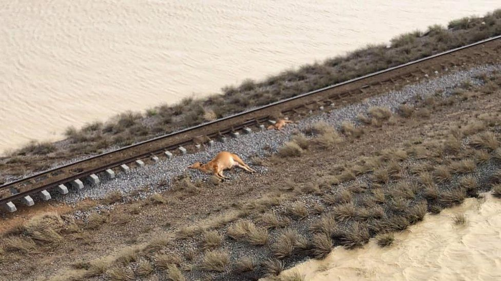 Dead cattle next to floodwater on a cattle station in Julia Creek, Queensland