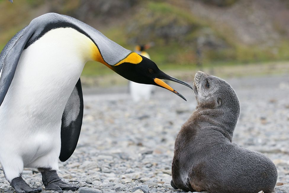 Penguin and fur seal
