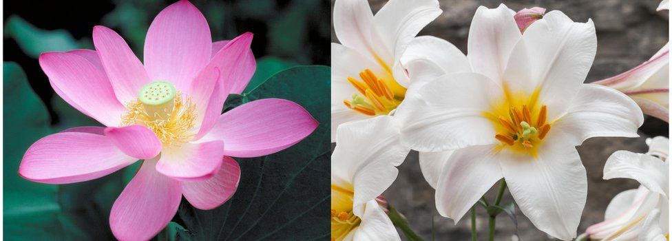 Lotus (L) and Lily (R)