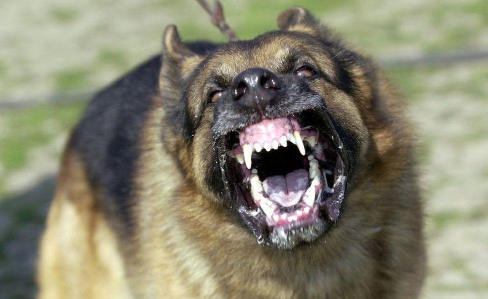 A German Shepherd bares its teeth