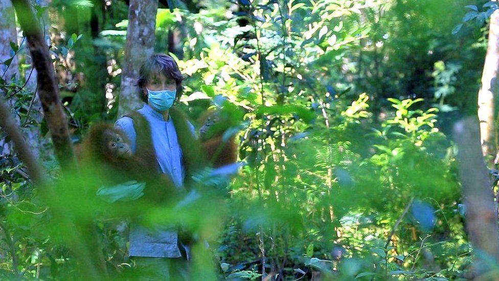 Voluntário trabalhando com orangotangos resgatados.