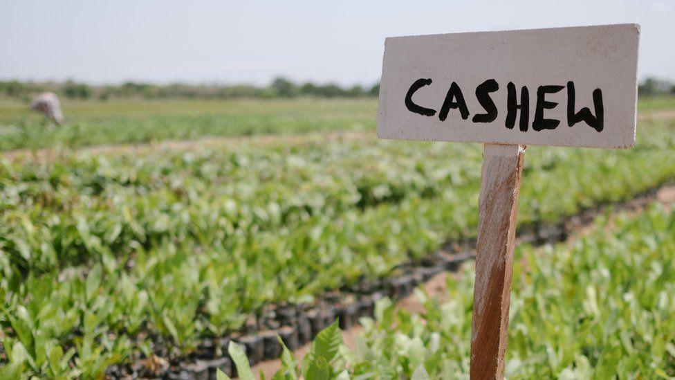 Cashew tree seedlings being grown in Ghana