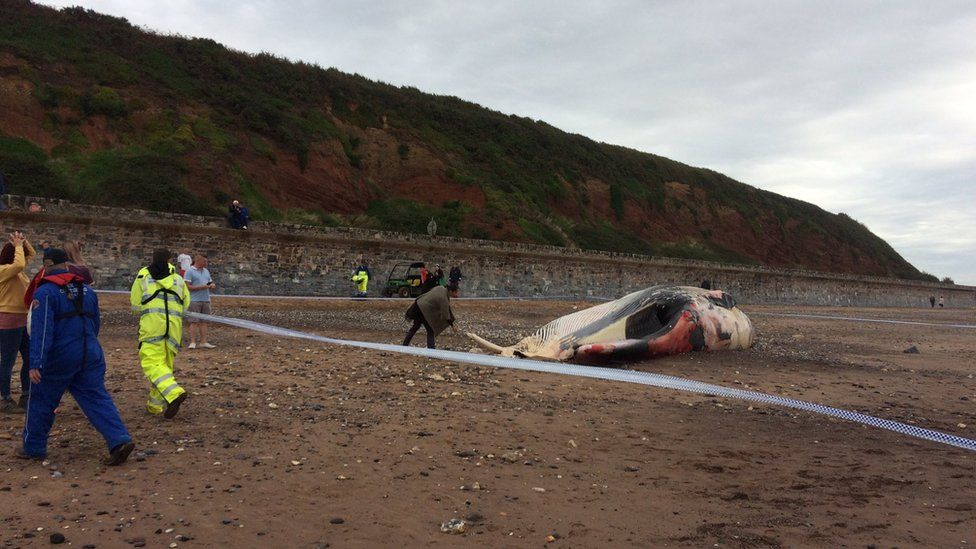 A dead whale on Red Rock beach with tape around it.
