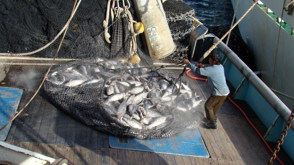Tuna being caught in the Pacific Ocean
