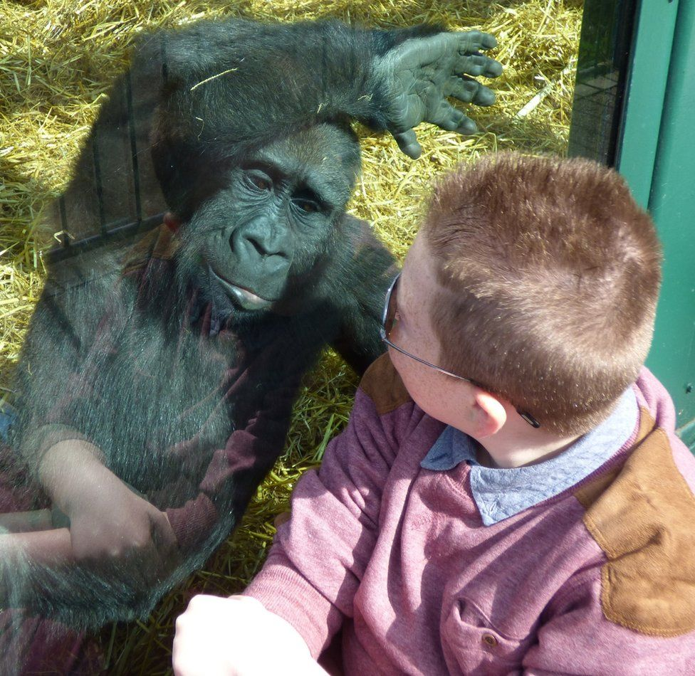 Young gorilla and a boy