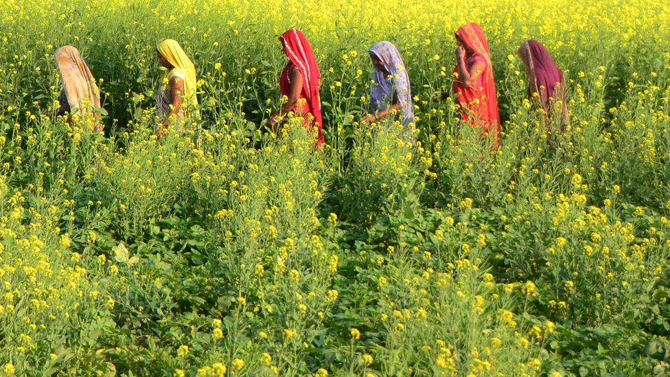 Women in field in Uttar Pradesh