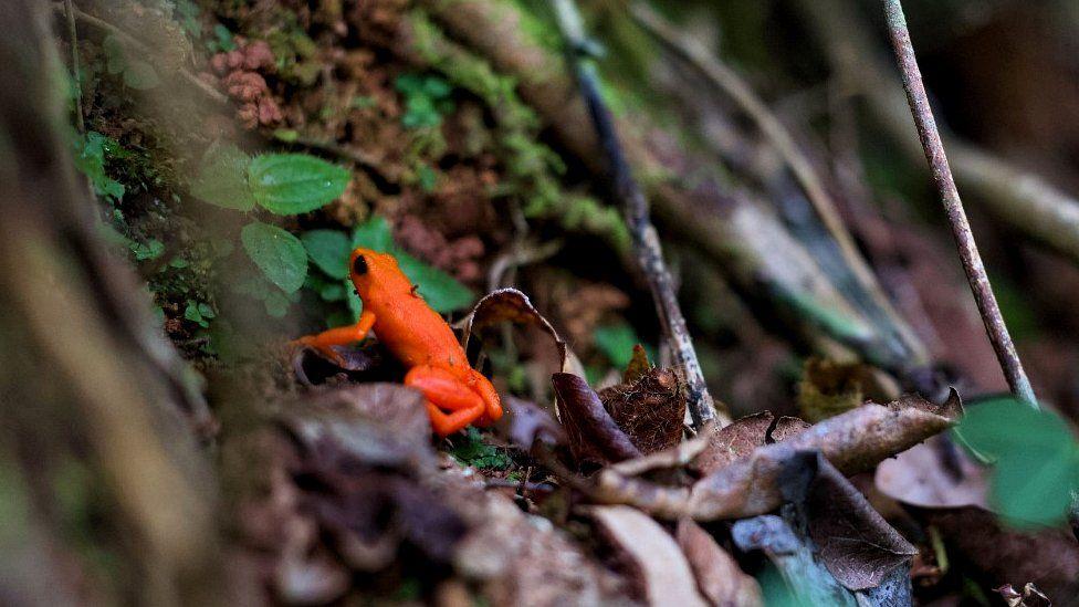Golden mantella in Mangabe forest