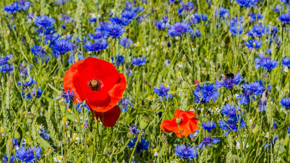 Cornflowers with poppies