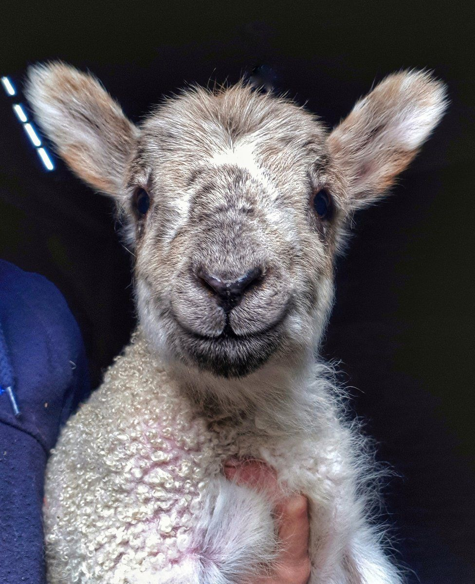 Happy looking lamb looking into the camera