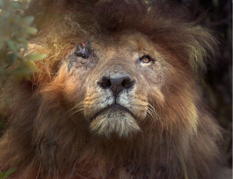 A large lion looks upward with one eye missing