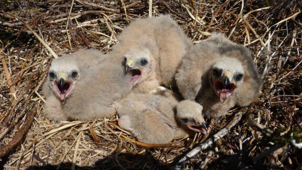 Hen harrier chick in Northumberland