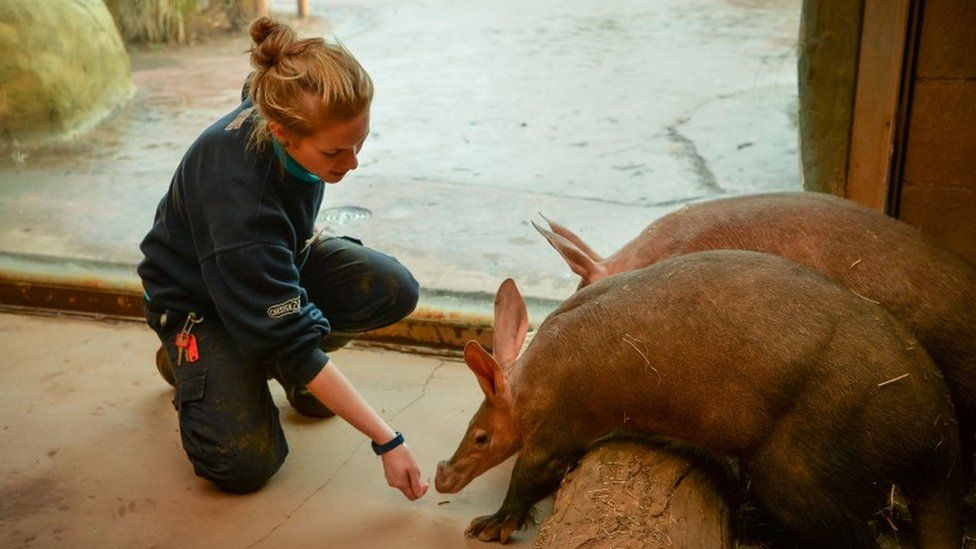 Lead keeper Kirsten cares for the aardvarks