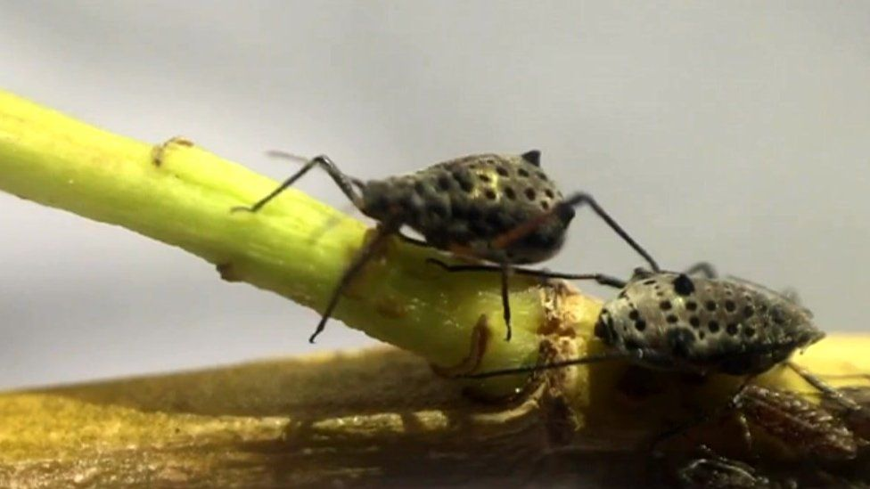 Two giant willow aphids
