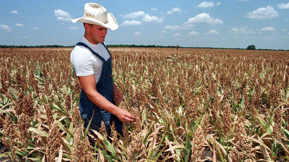 A sorghum field Elm Flat, Texas
