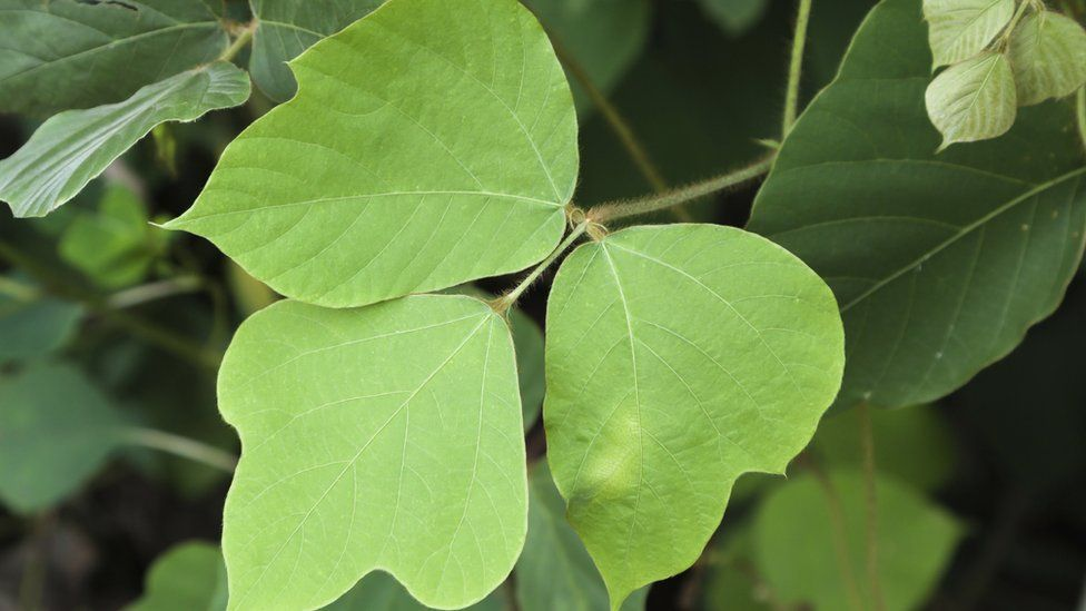 Kudzu plant