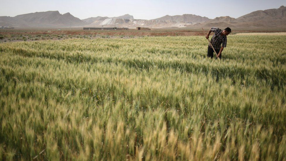 Farmer Abbas Hamamian works his wheat field on in Meymeh, Iran (3 June 2014)