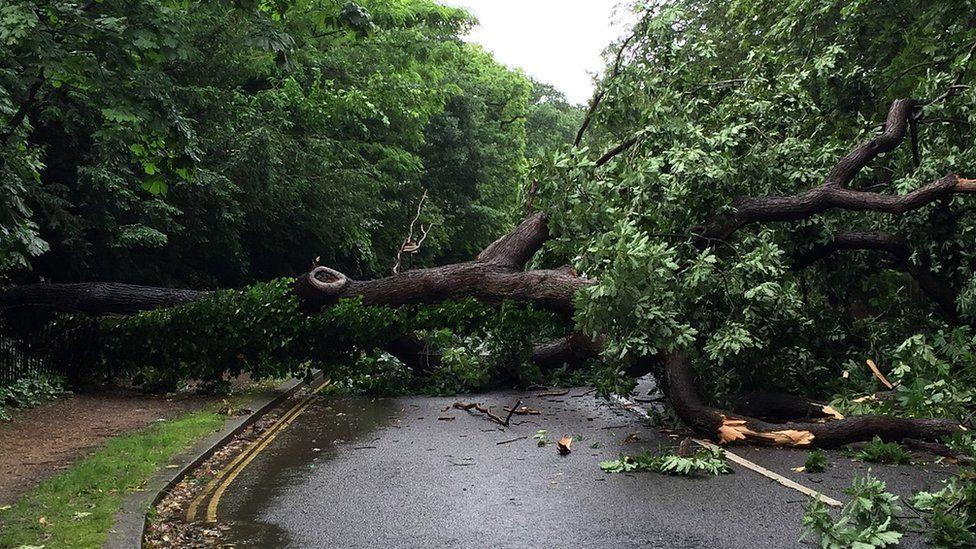 Oak tree blocking College Road in London