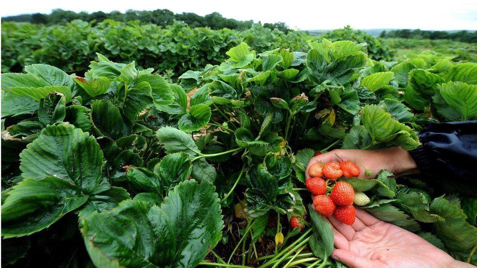 Strawberry farm in Northumberland